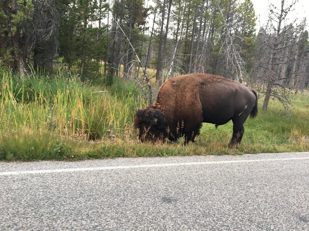If you haven't seen buffalo before, Yellowstone is your park to see them. They are everywhere! This one was right next to the road just munching away on some grass and could care less that we were stopped taking pictures of it. We saw maybe 5 buffalo walking along the roadways during our trip.
