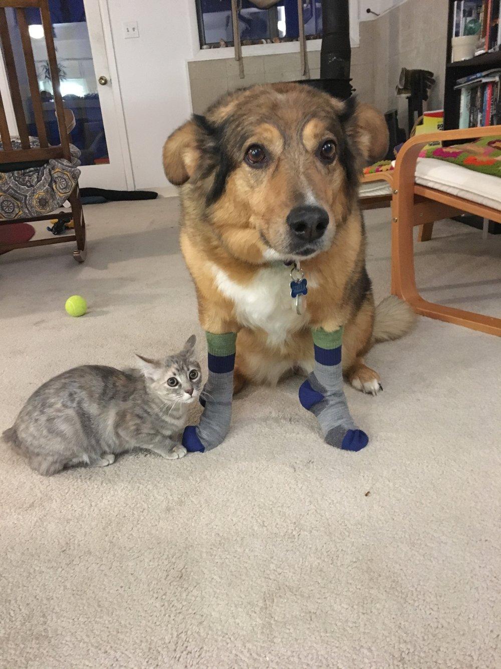 Stella sporting some kids socks and Maple feeling a bit...jealous
