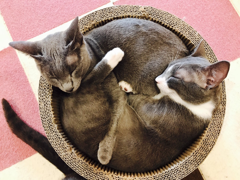 Posing as yin and yang at Y Cat Cafe in Seoul, South Korea