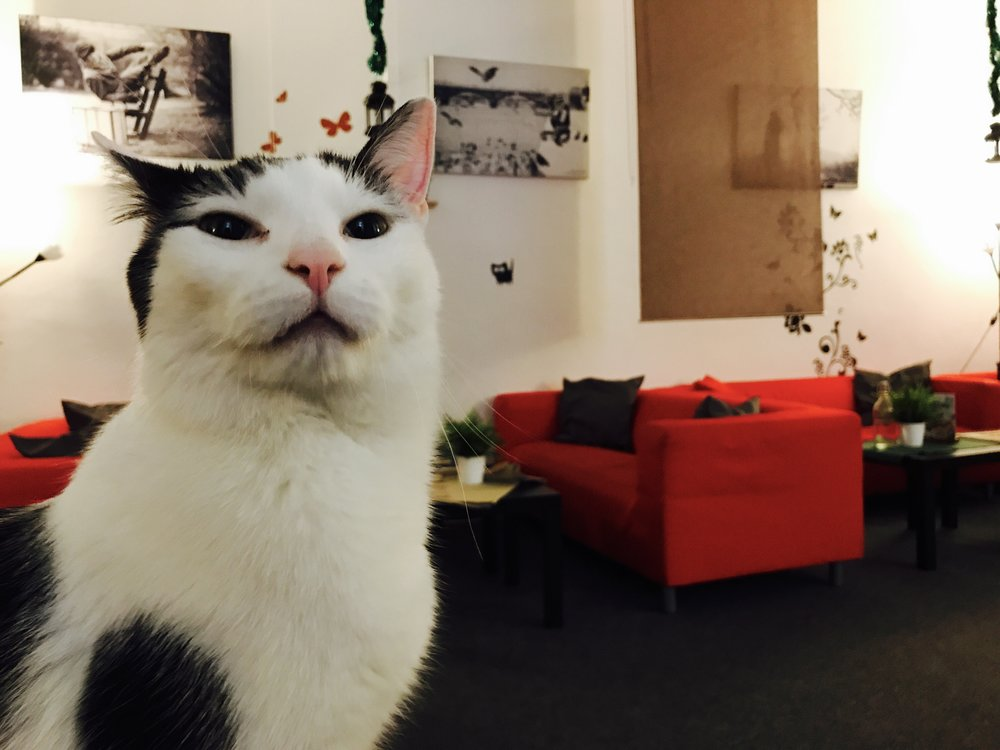 There are eight cats at Cat Cafe Prague, including super-friendly Kenzo