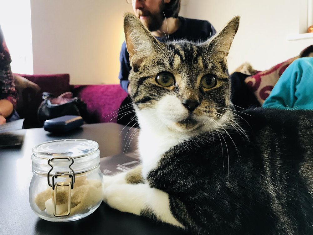 Freddie: Feline Good Cat Cafe Cardiff