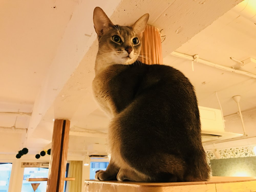 The Best Cat Cafes In Tokyo The Neighbor S Cat