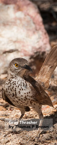 Gray Thrasher.jpg