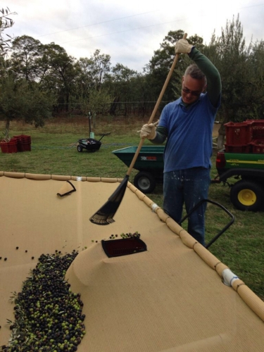 Alex (Son-in-Law) filling the last crate on the first day of harvest