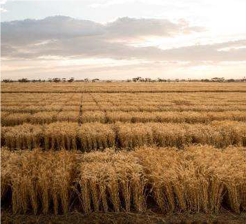 Photo 1: AGT wheat yield plots (Source: AGT)