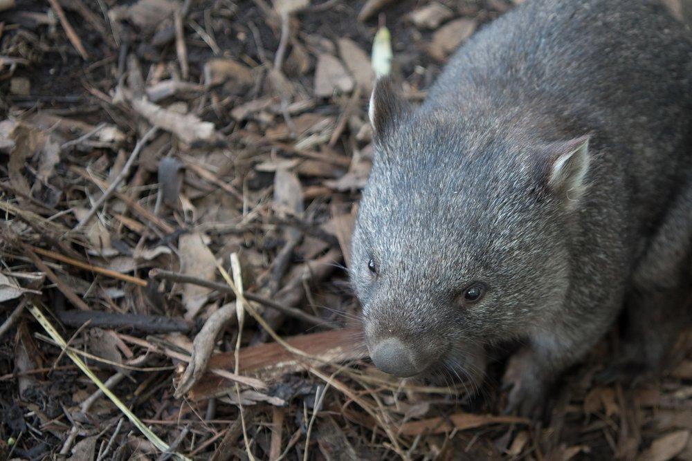 Island wombat