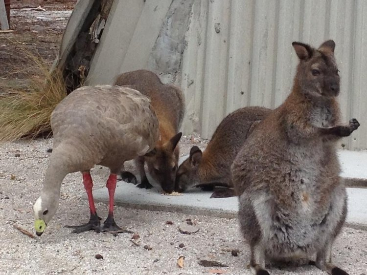 Cape Barron Geese and Bennetts Wallabies Flinders Island