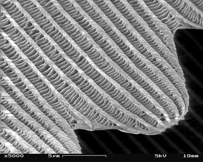 Hierarchical structure of butterfly scale (magnification x5000).
