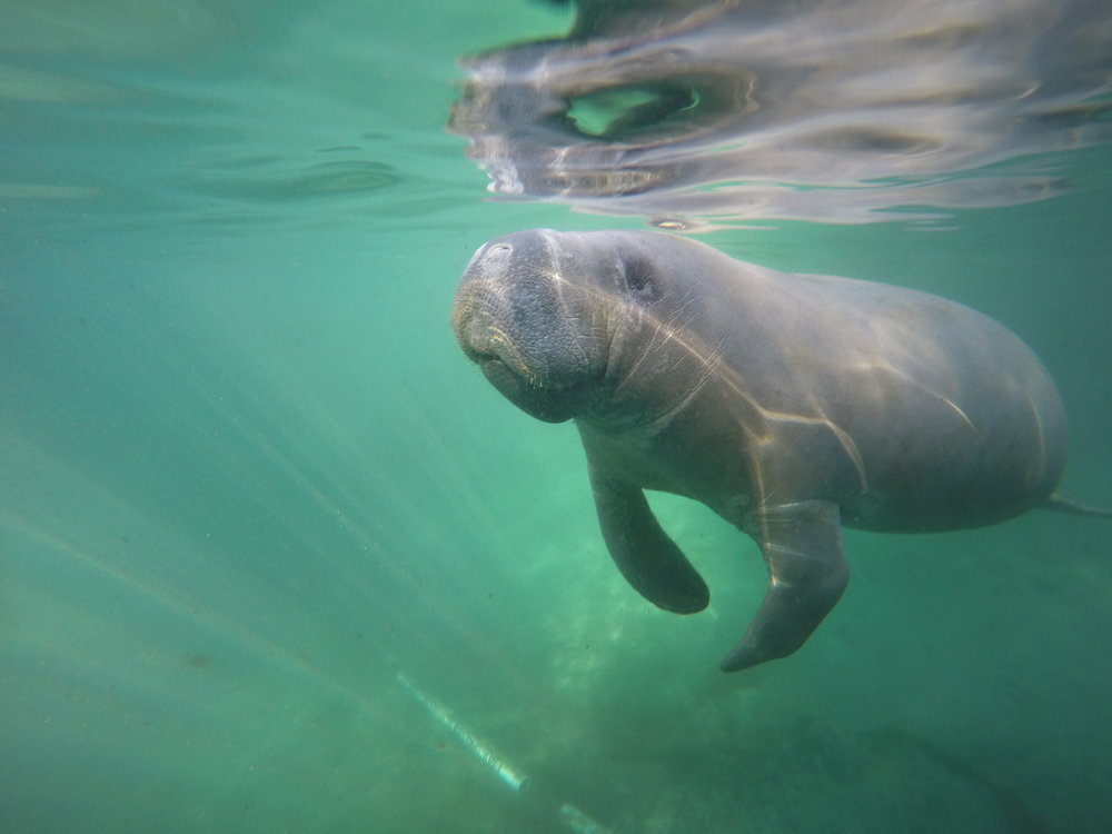 Curious Manatee by Anne Flaherty '20