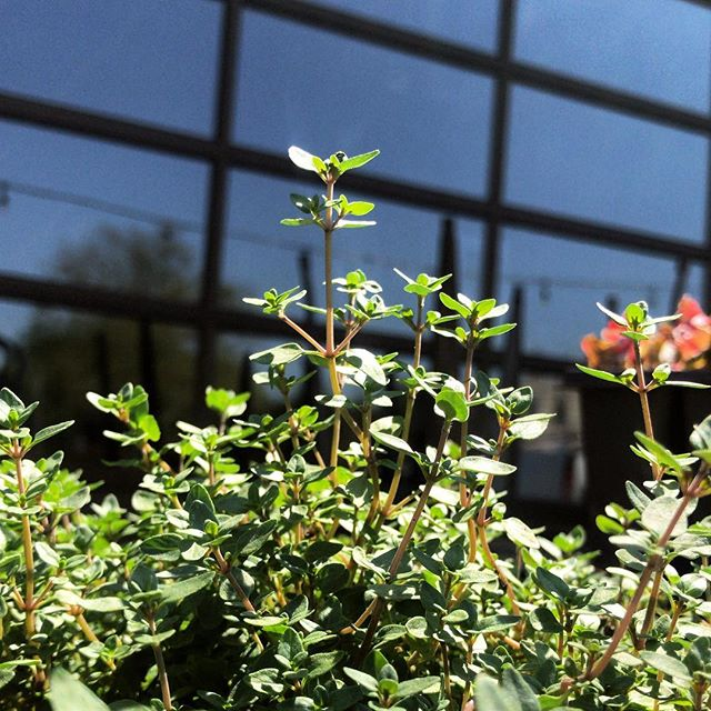 It's Monday, and it's Thyme to relax. Our patio garden is used regularly in both our cocktails and kitchen, come check it out!! #rustandgold