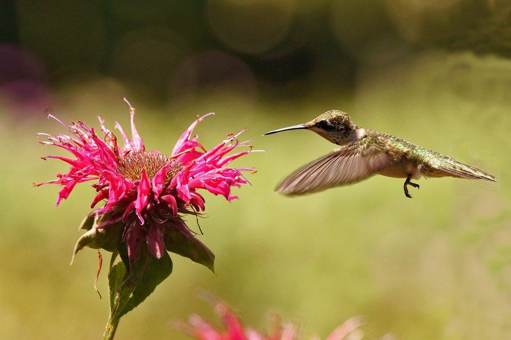 Hummingbird_RubyThroated_CathyHennessy.jpg