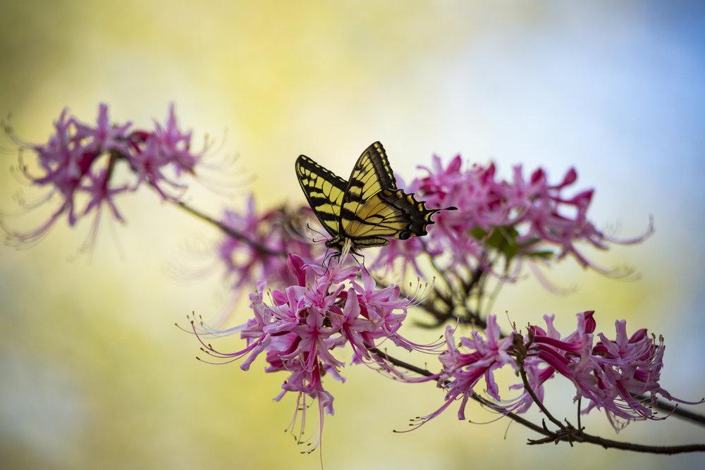 Azalea_Butterfly_MichaelOppenheim.jpg