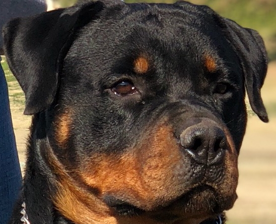 Central California German Rottweilers