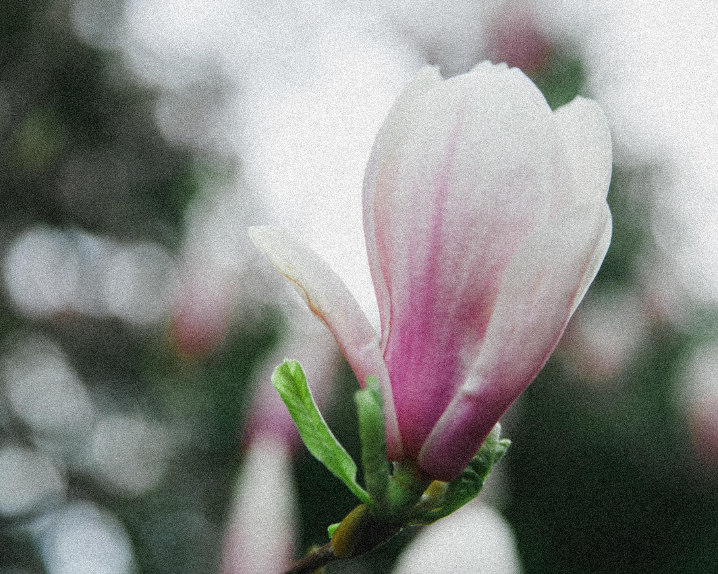 blossom-21