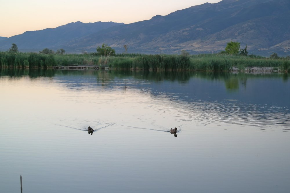 ducks at bountiful pond, utah
