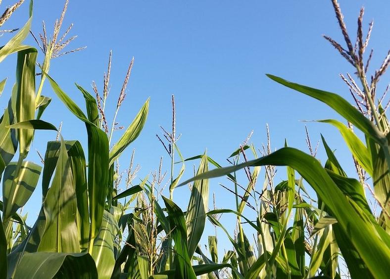Davis county corn fields