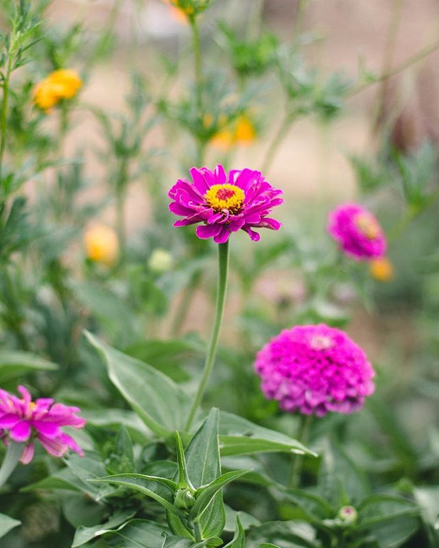 zinnias be poppin' 👌🏻 we have three cabbage white butterflies that flit around in the garden. they make me so happy! so do the zinnias. & the melons. & the beet seedlings. basically the garden in general.☺️