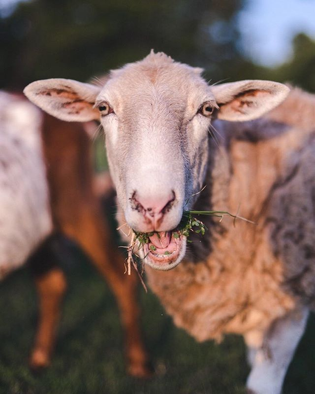apparently Maggie doesn't know not to speak with her mouth full. 🐑🌿 #mannersplease
