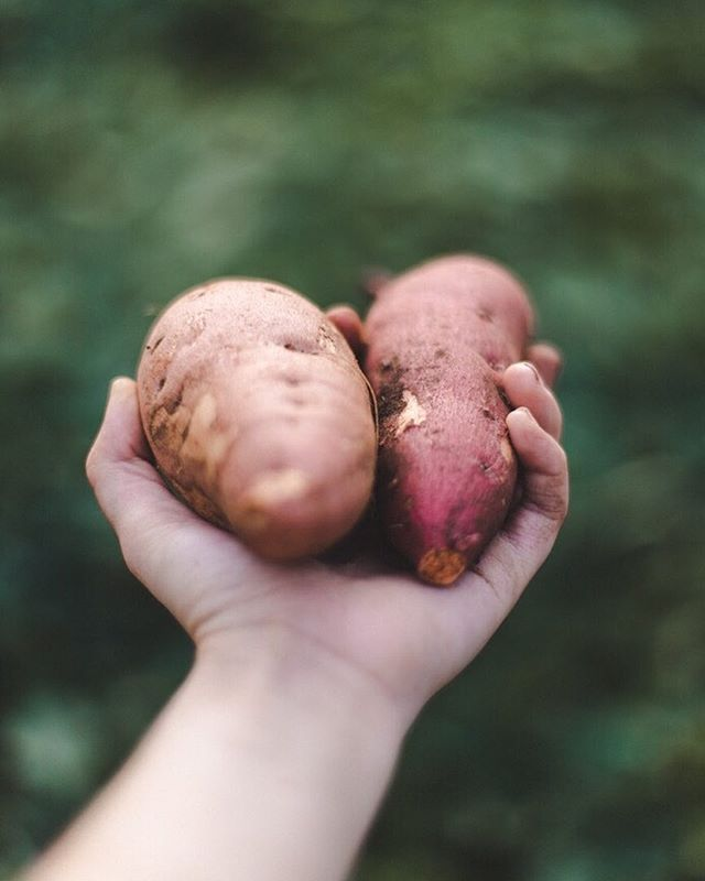 is there anything more satisfying than pulling a homegrown potato (in this case, sweet potato) out of the ground? I think not! 🍠✨ so excited to have a haul to put away for winter. also, did you know that they get their sweetness as they're curing? I did not & I kept wondering why they were so bland.🙈