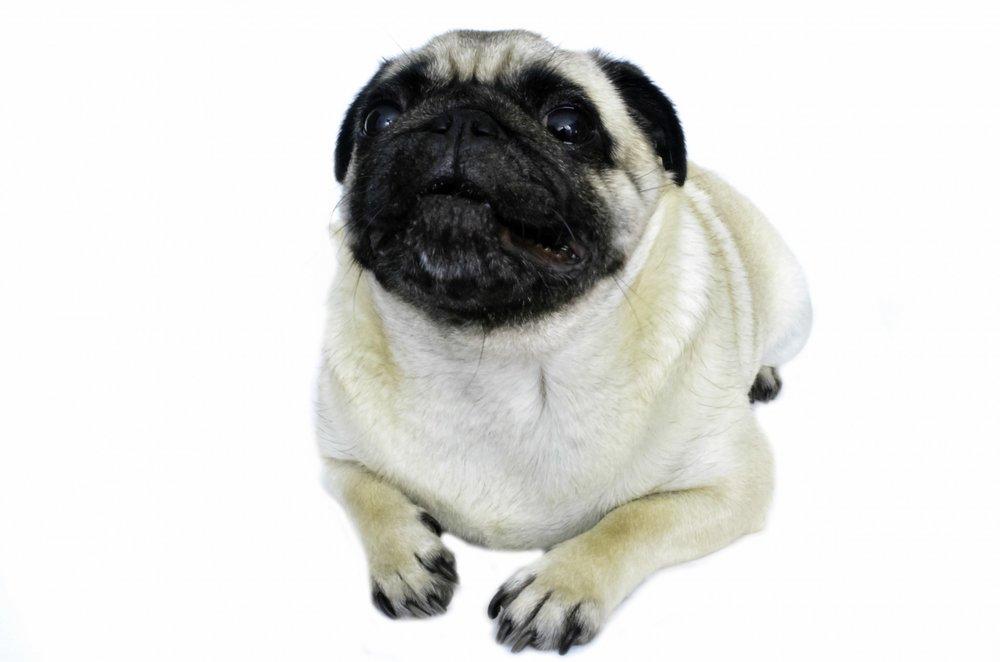 pug cute public domain