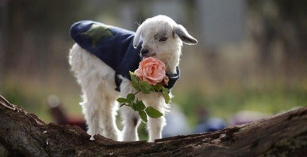 picture of cute goats rose