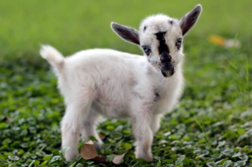 picture of cute goats
