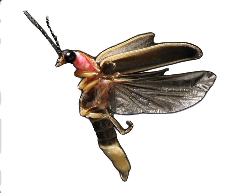 Photinus pyralis.png