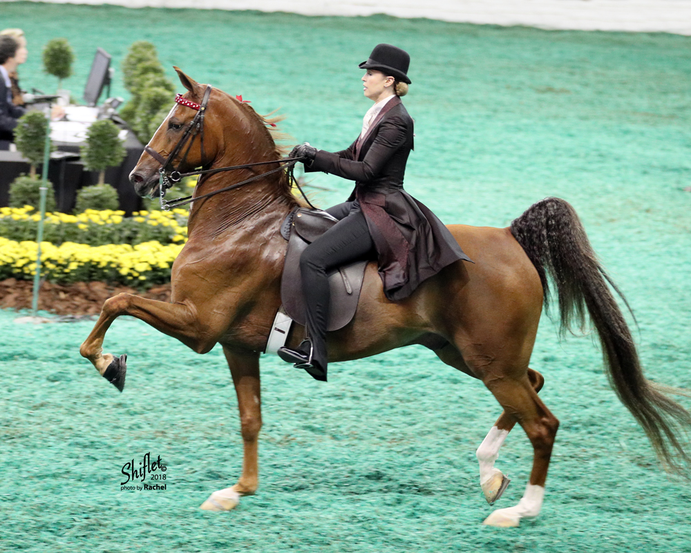 Absolutely A Prince - Undulata's Nutcracker x WCC Absolutely Exquisite. A new star in the Amateur Show Pleasure division, 2018 was a very successful debut year in the show ring for Absolutely A Prince. Having earned Top 3 ribbons in a very competitive Lexington Junior League Show Pleasure Division, he is poised and ready for 2019! Direct Inquiries to Rose Stables: (541) 255-8959.