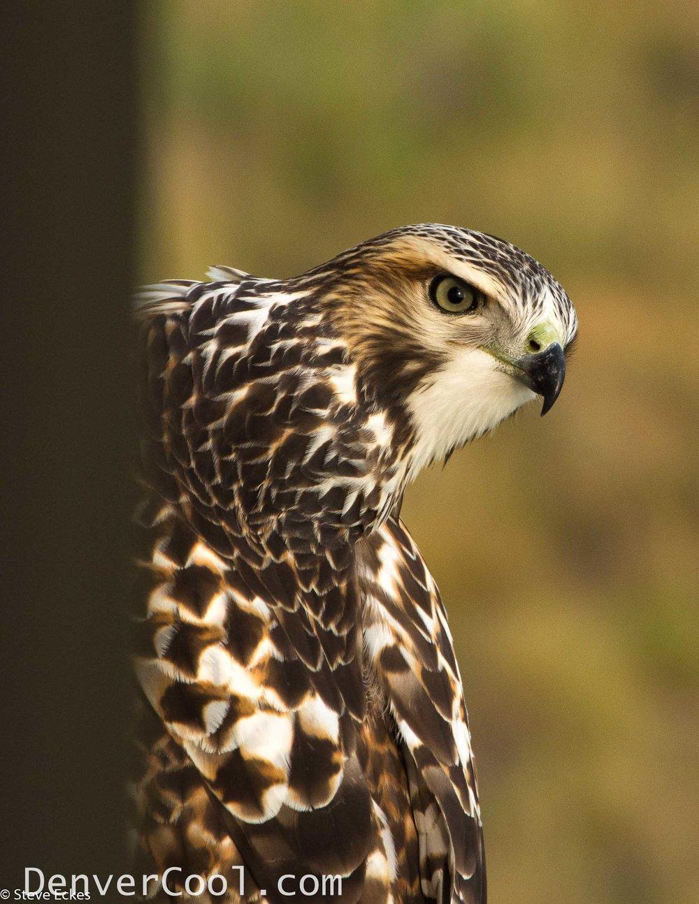 A Hawk's Eye