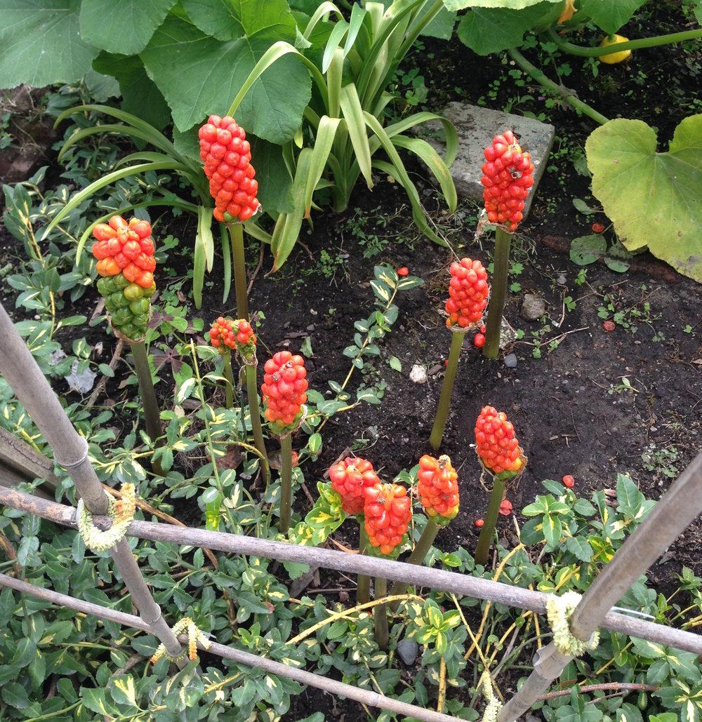 interesting berry flower .JPG