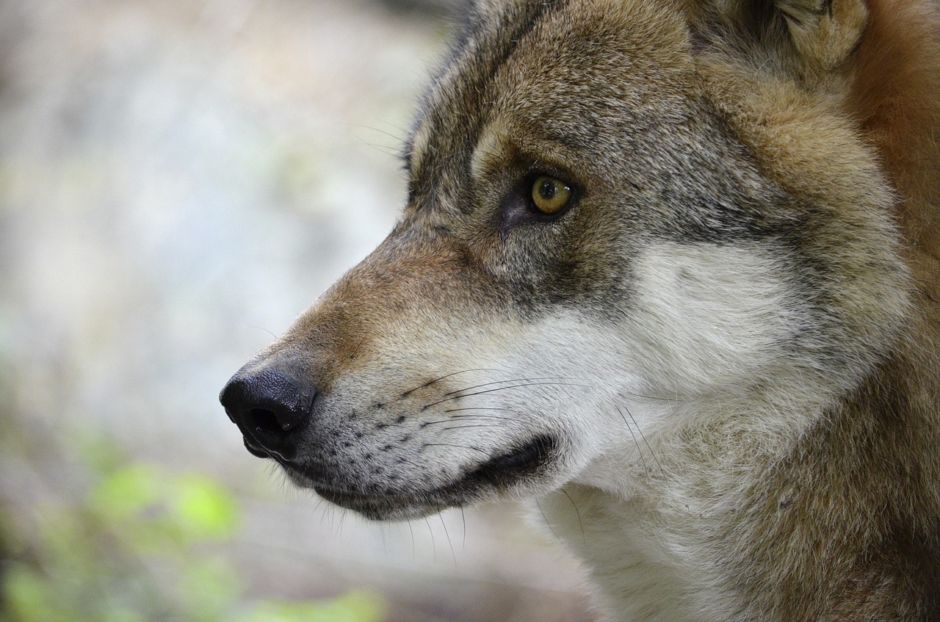 Wolf-940x622.jpg