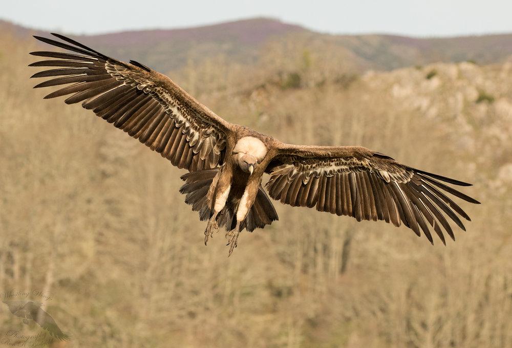 Griffon Vulture landing mtn BG 1600cr.jpg