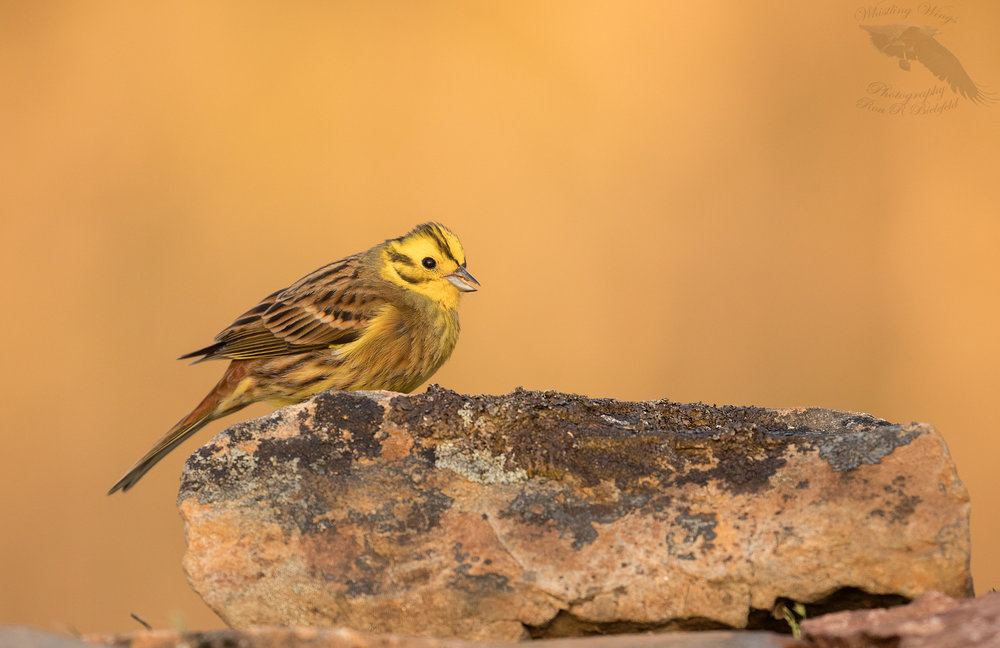 Yellowhammer male sitting on rock 1600cr.jpg