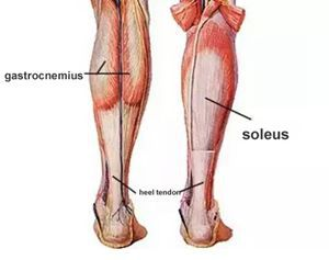 the-soleus-and-gastrocnemius.jpg