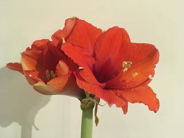 Isn't the Amaryllis just the most wonderful in your face flower for January