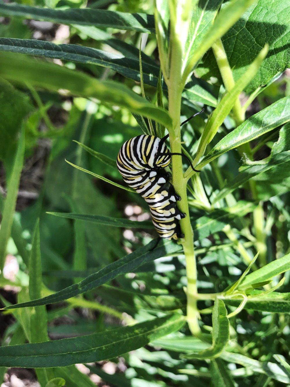 Monarch caterpillar.jpeg