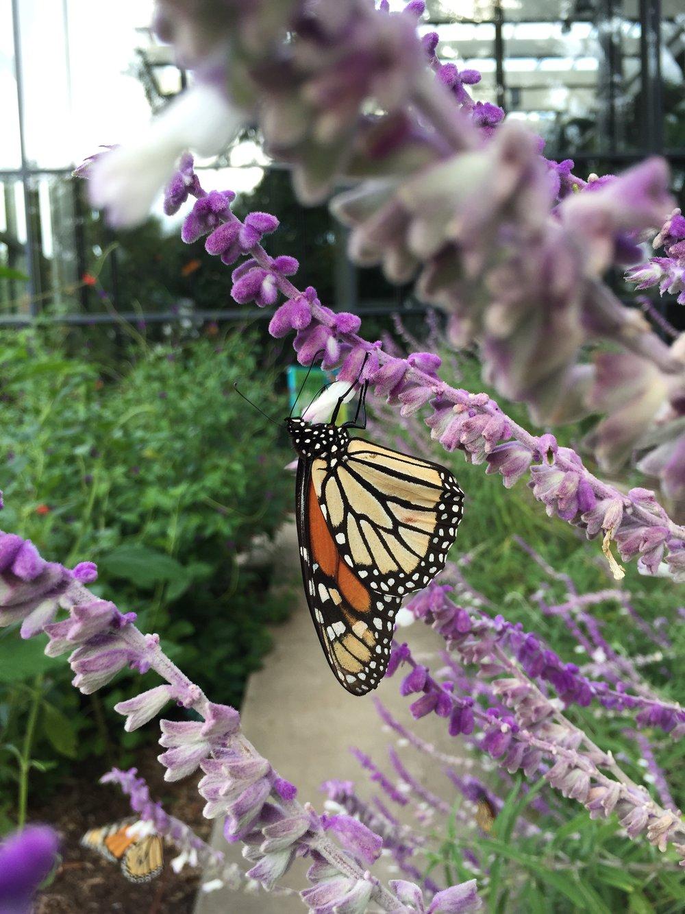 Monarch on sage (1).jpeg