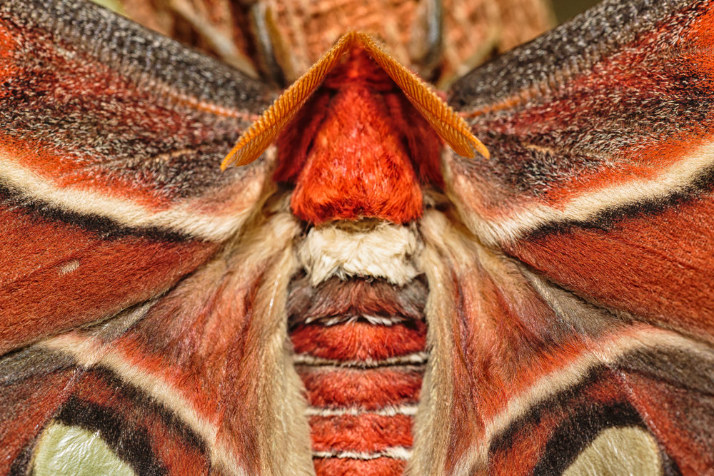 Feathery antenna of an Atlas moth.