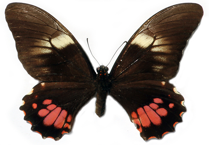 Ruby-spotted Swallowtail