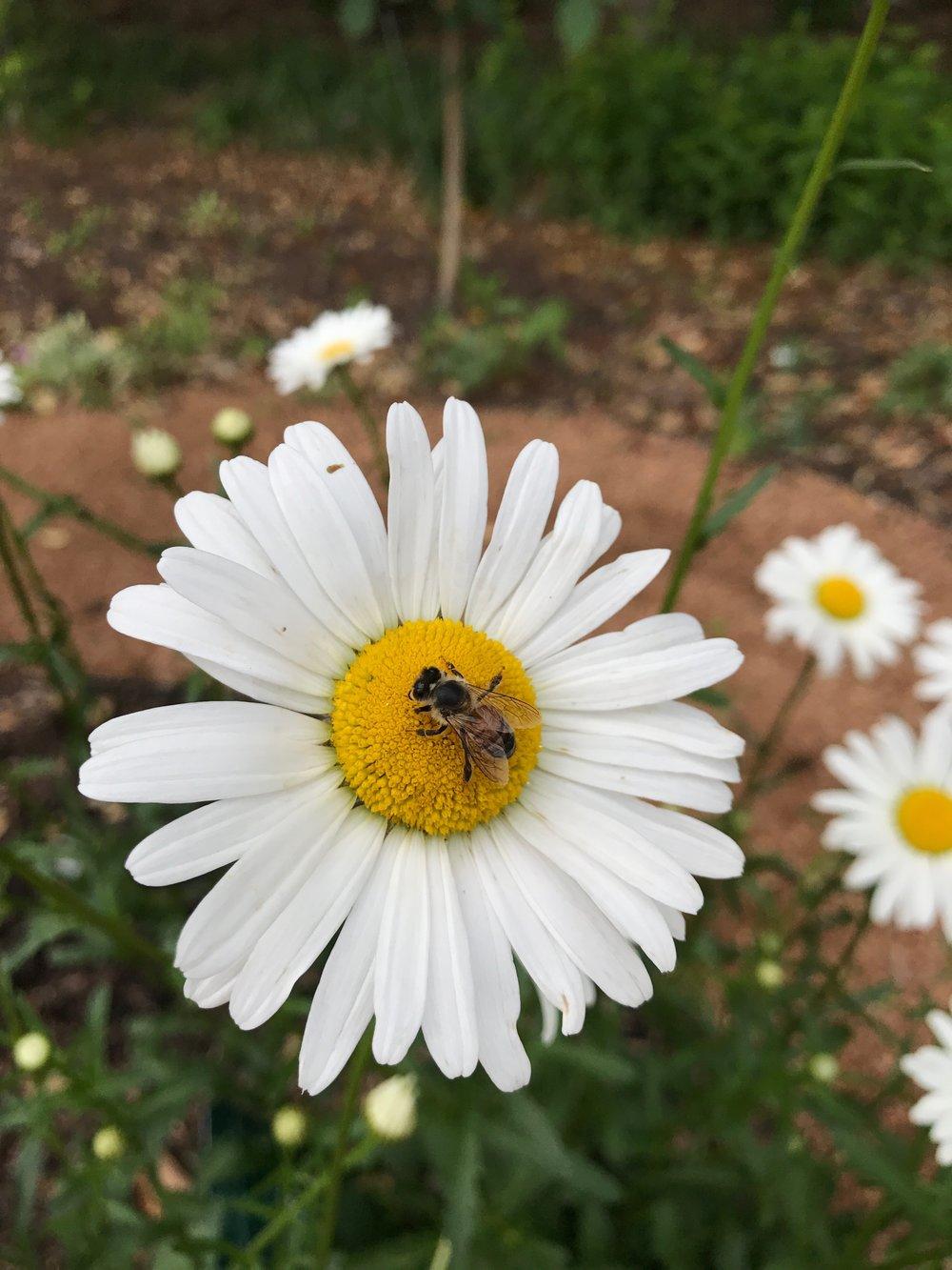 Honeybee on an Ox-eye Daisy