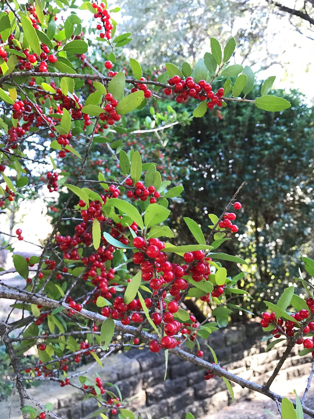 Yaupon Holly at Texas Discovery Gardens