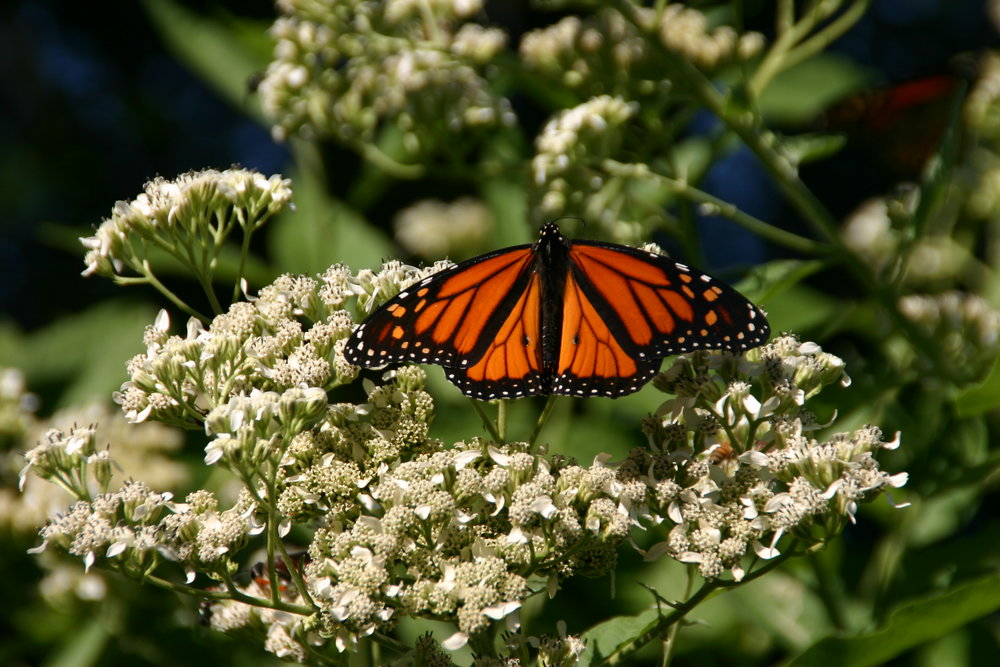 Texas Discovery Gardens Sees Hundreds Of Monarchs During The Migration. You  Can Bring Them To Your Home, Too! Having Blooming Plants In Your Garden  Will ...