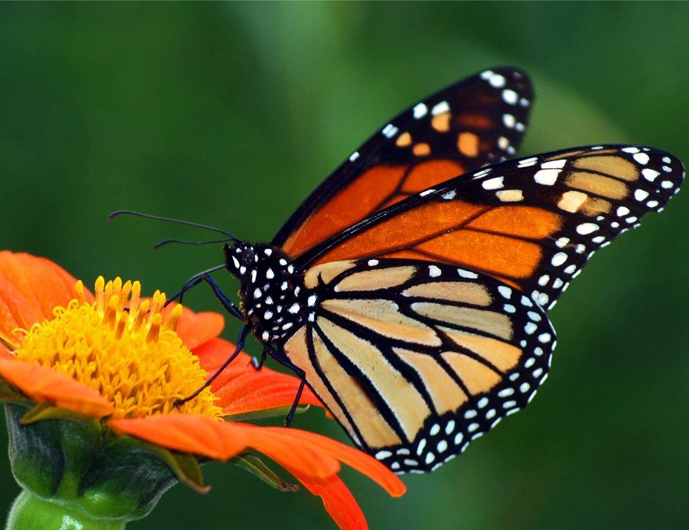 8 SEPT James Laurie Monarch Mexican Sun 213. Garden For. Butterflies