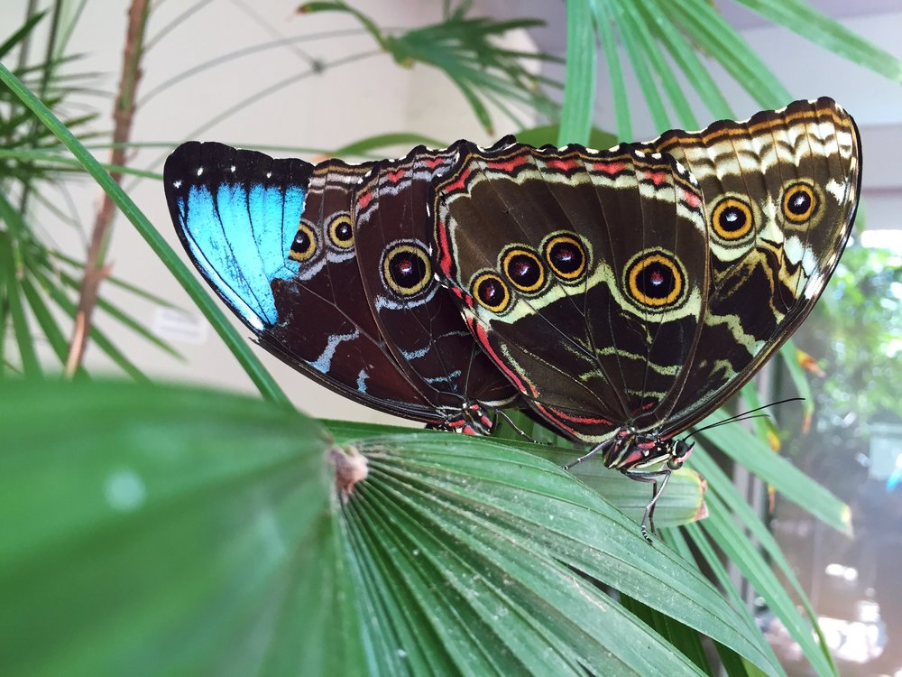 blue Morpho.jpeg