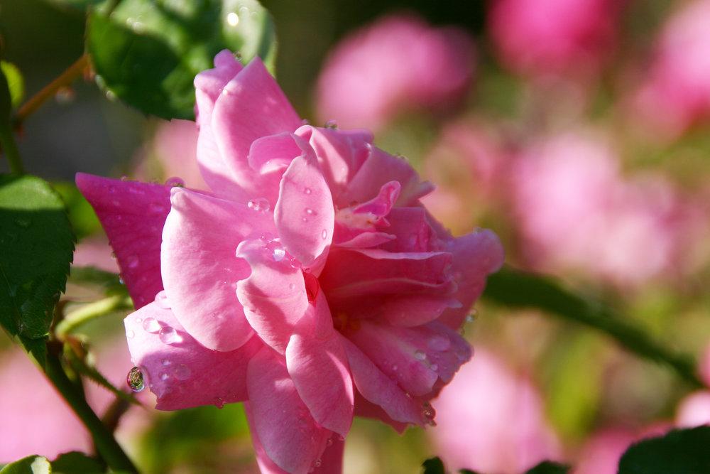 rose at TXDG.jpg