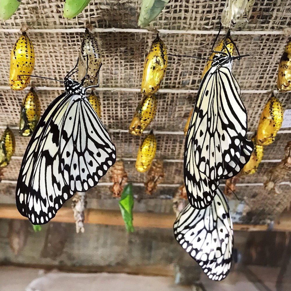 Newly emerged Paperkite butterflies.