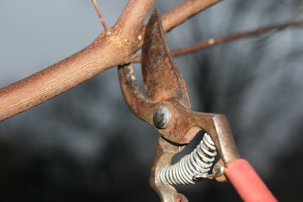 IMG_6057 Pruning.JPG