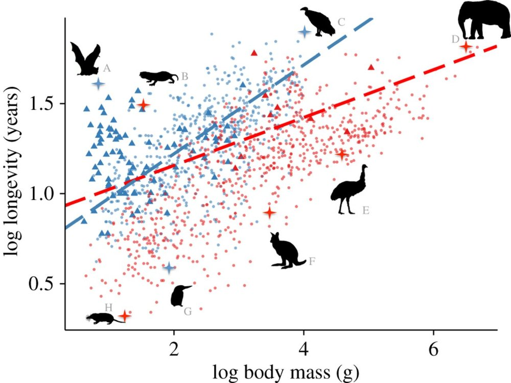 Relationships between body mass and maximum lifespan in birds and mammals.  Silhouettes highlight a selection of species with much longer or shorter lifespans than expected given their body size. These species are (A)  Myotis brandtii , Brandt's bat; (B)  Heterocephalus glaber , naked mole rat; (C)  Vultur gryphus,  Andean condor; (D)  Loxodonta Africana , African elephant; (E)  Dromaius novaehollandiae , emu; (F)  Dorcopsulus macleayi , Papuan forest-wallaby; (G)  Ceryle rudis,  pied kingfisher and (H)  Myosorex varius , forest shrew.  Blue points and line represent volant birds and mammals. Red points and line represent non-volant birds and mammals. Blue triangles represent bat species and red triangles represent non-volant bird species.   Healy, K et al. (2014)  Ecology and mode-of-life explain lifespan variation in birds and mammals,  Proceedings of the Royal Society B ,  DOI: 10.1098/rspb.2014.0298