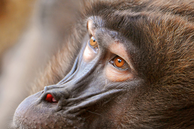 Baboon Eyes.  Photo: Tambako the Jaguar