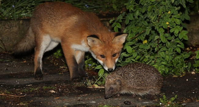 "Ancient Greek poet, Archilochus declared: ""a fox knows many things, but a hedgehog one important thing."" This inspired Isaiah Berlin's famous essay:  The Hedgehog and the Fox .  Photo: Robert E. Hunter"